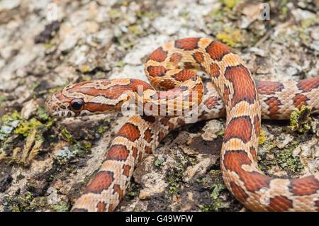 Corn snake, red rat snake, Pantherophis guttatus, native to southeastern United States - Stock Photo