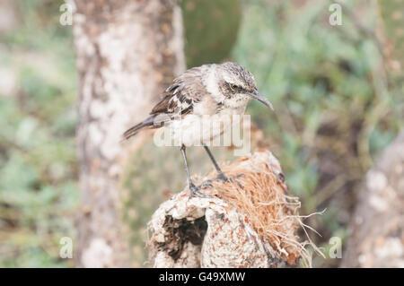 Galapagos Mockingbird, Mimus (Nesomimus) parvulus, Isla Genovesa, Galapagos Islands, Ecuador - Stock Photo