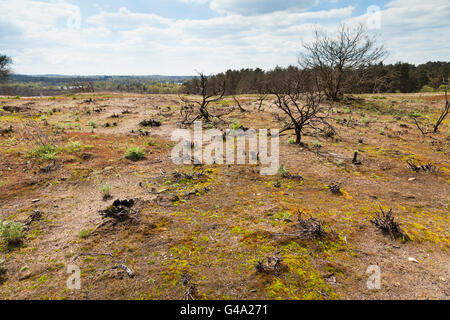 Ground covering plant regrowth at site of forest fire at Frensham Little Pond, Surrey, England, United Kingdom, - Stock Photo