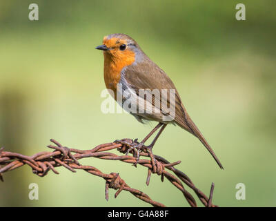 robin on barbed wire - Stock Photo