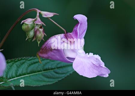 Himalayan balsam flowers, Impatiens glandulifera Stock Photo
