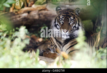 Chester Zoo tiger cub - Stock Photo