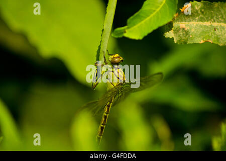 Close-up the dragonfly sitting on leaf in the nature - Stock Photo