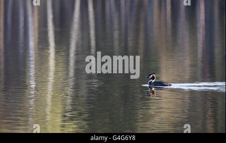 Great Crested Grebe swimming across pattern formed by tree reflections - Stock Photo
