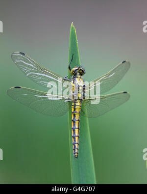 Female Black-tailed Skimmer dragonfly - Stock Photo