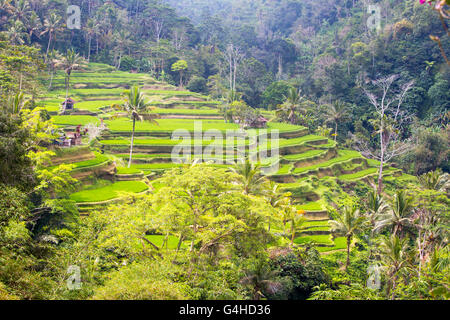 Crops of rice fields on a hot sunny afternoon near Ubud, Bali, Indonesia - Stock Photo