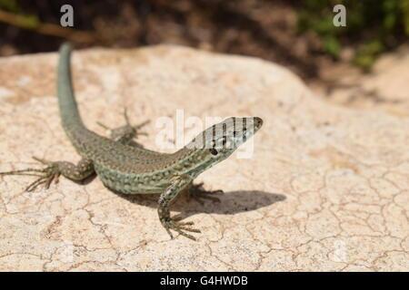 (Podarcis Pityusensis) Formentera wall lizard resting on stone - Stock Photo