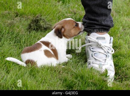 Danish Swedish farm dog - Stock Photo