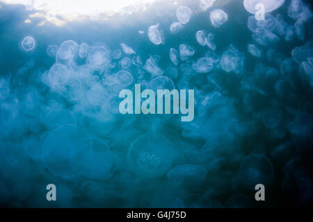 Aggregation of Moon Jellyfish, Aurelia aurita, Raja Ampat, West Papua, Indonesia - Stock Photo