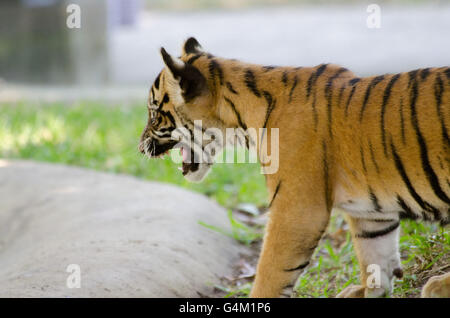 Three months old Sumatran tiger cub yelling at the pond in Australia Zoo - Stock Photo