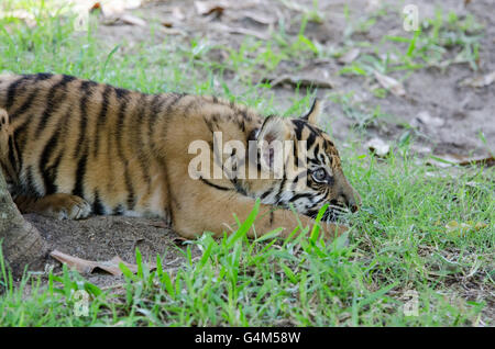Three months old Sumatran tiger cub playing in the grass in Australia Zoo - Stock Photo