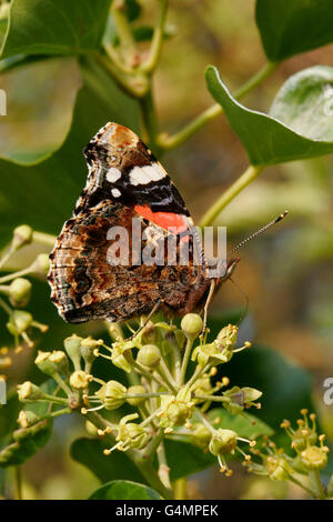 Red Admiral, Vanessa atalanta, single adult feeding on ivy.  Taken October. Lea Valley, Essex, UK. - Stock Photo