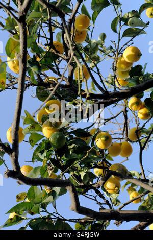 Lemons (Citrus × limon) on lemon tree, Ischia, Naples, Italy, Europe - Stock Photo
