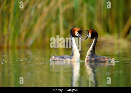 Great crested grebes (Podiceps cristatus), pair during courtship, Lake Lucerne, Canton of Lucerne, Switzerland - Stock Photo