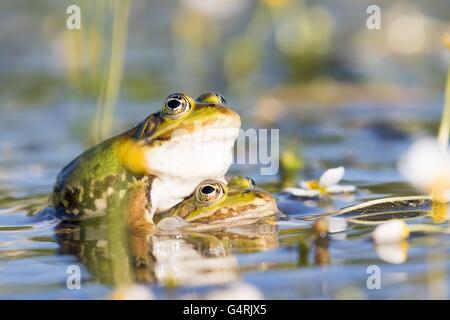 Edible frogs (Pelophylax esculentus) in water, mating, white water-crowfoot (Ranunculus aquatilis), Hesse, Germany - Stock Photo