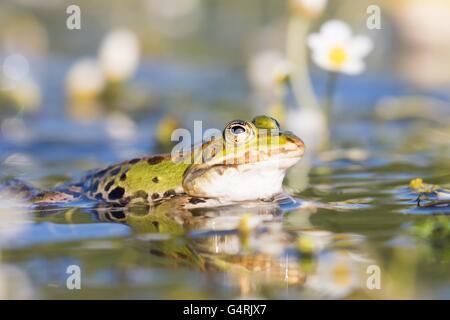 Edible frog (Pelophylax esculentus) in water, white water-crowfoot (Ranunculus aquatilis), Hesse, Germany - Stock Photo