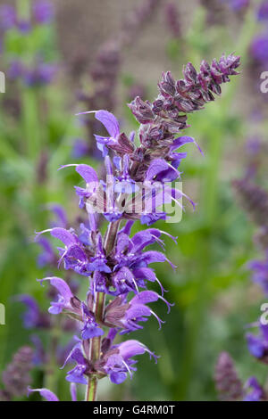 Woodland sage (Salvia nemorosa 'May Night'), Maximilianpark, Maxipark, Hamm, Ruhr Area, North Rhine-Westphalia - Stock Photo