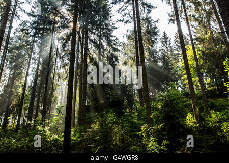 Forest, spruce, sun rays penetrate through the treetops, timberland, Sauerland area, Winterberg, Germany, - Stock Photo