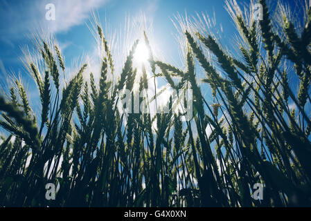 Low angle view of retro toned wheat field against summer sun, crops growth and successful agricultural production - Stock Photo
