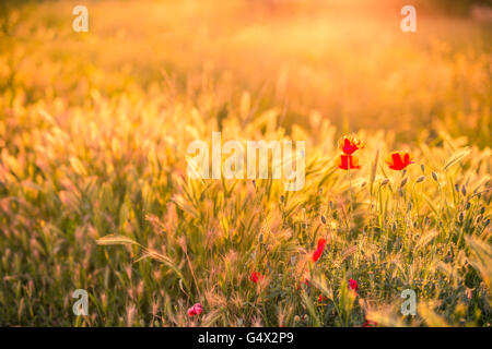 Beautiful flowers at sunrise. Summer background concept. - Stock Photo
