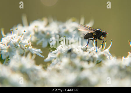 Horse-fly on Ground Elder - Stock Photo