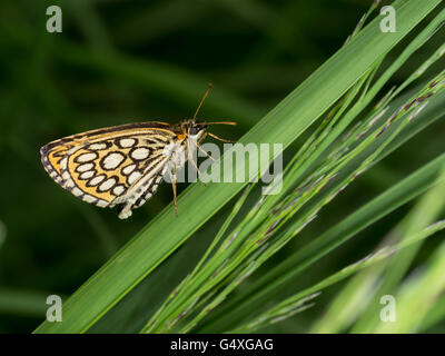 Heteropterus morpheus. Large chequered skipper butterfly, female with eggs. - Stock Photo