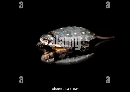 Baby Spotted Turtle (Clemmys guttata) [Captive] - Brownsville, Texas, USA - Stock Photo