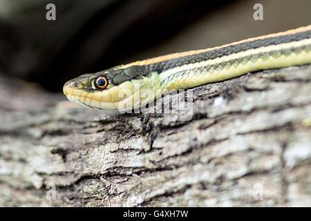 Gulf Coast Ribbon Snake (Thamnophis proximus orarius) - Camp Lula Sams, Brownsville, Texas, USA - Stock Photo