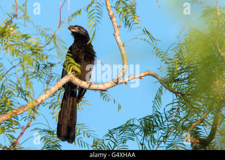 Groove-billed Ani (Crotophaga sulcirostris) - Camp Lula Sams, Brownsville, Texas, USA - Stock Photo