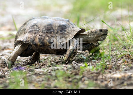 Texas Tortoise (Gopherus berlandieri) - Camp Lula Sams - Brownsville, Texas USA - Stock Photo