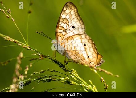 White Peacock Butterfly (Anartia jatrophae) - Camp Lula Sams, Brownsville, Texas, USA - Stock Photo