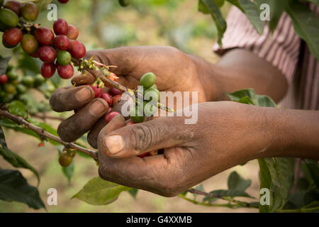 Coffee cherries are harvested from a farm in the Rwenzori Mountains, Uganda, East Africa. - Stock Photo