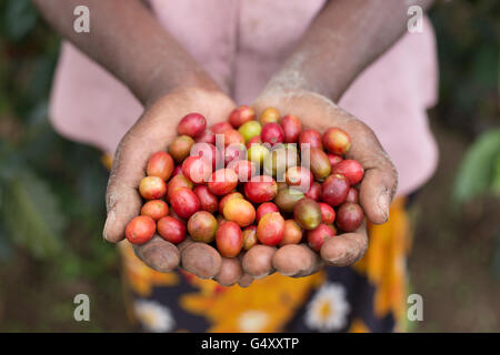 Fresh coffee cherries are harvested from farms in the Rwenzori Mountains, Uganda, East Africa. - Stock Photo