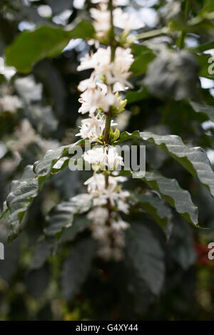 Coffee flowers are in bloom on a coffee tree in Kasese District, Uganda. - Stock Photo