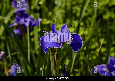 Close up of a Iris sibirica silver edge in a clump of other out of focus  irises - Stock Photo