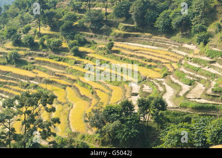 Nepal, Western Region, Bahundanda, On the Annapurna Circuit - Day 1 - From Bhulbhule to Jagat - Grain terraces at - Stock Photo