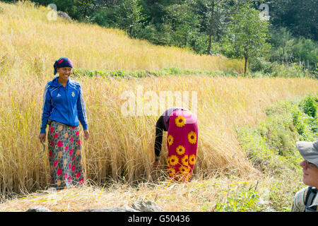 Nepal, Western Region, Gandaki, On the Annapurna Circuit - Day 1 - From Bhulbhule to Jagat - Woman at harvest in - Stock Photo