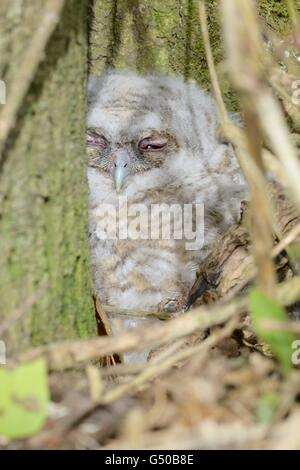 Juvenile Tawny Owl, Owlet, Strix aluco on the ground at the base of a tree in Spring, Wales, UK - Stock Photo