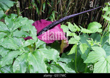 Red spathe and black spadix of the foul smelling dragon arum, Dracunculus vulgaris - Stock Photo