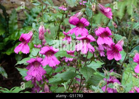Dark throated pink flowers of the half-hardy Chinese foxglove, Rehmannia elata - Stock Photo