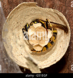 Common wasp queen (Vespula vulgaris) buildiing, constructing nest from paper, with eggs of future workers in open - Stock Photo