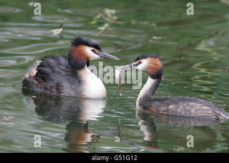 Great-crested Grebes, Podiceps cristatus, pair of adults with fish. Taken May. Lea Valley, Essex, UK. - Stock Photo