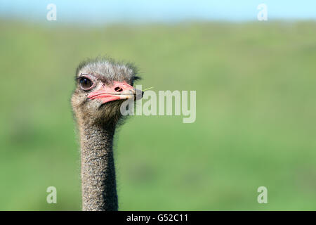 South Africa, Eastern Cape, Western District, Addo Elephant National Park, close-up of an African ostrich, African - Stock Photo