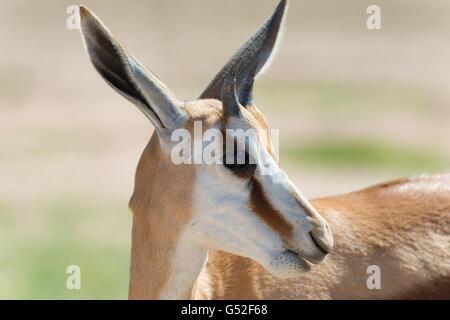 South Africa, North Cape, Benede Oranje, Kgalagadi Transfrontier Park, Springbok in the wild - Stock Photo