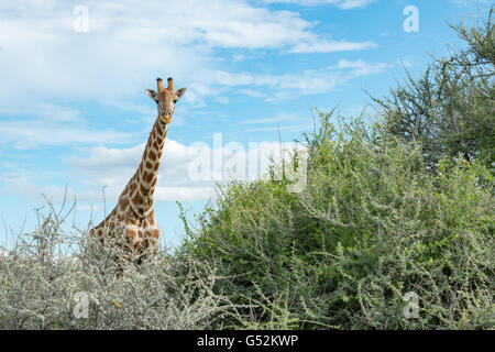Namibia, Oshana, Etosha National Park, Giraffe - Stock Photo