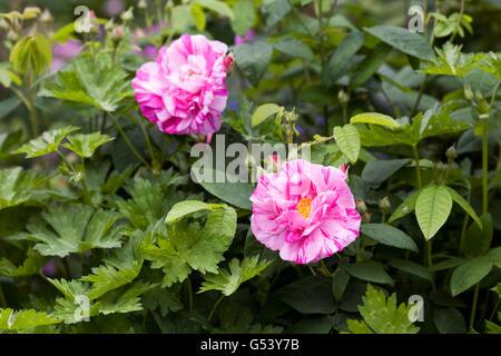 Rosa gallica 'Versicolor'. Rosa mundi shrub rose in an English garden. - Stock Photo