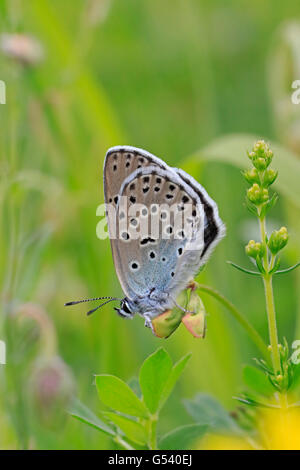 Adult Large Blue Butterfly in Gloucestershire - Stock Photo