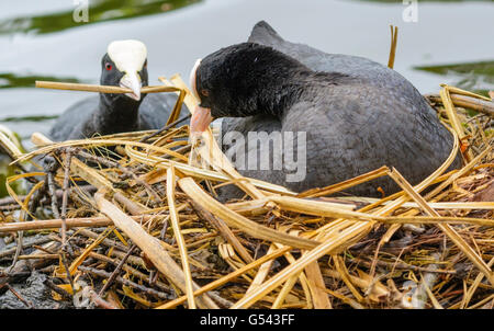 A pair of Coots (Fulica atra) building a nest on a lake in the UK. - Stock Photo