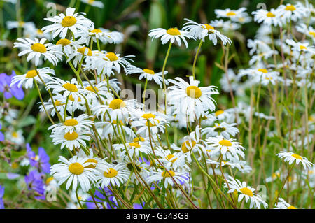 Oxeye Daisies growing in a garden. - Stock Photo