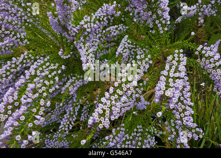 Chilean heather Violet pichi Fabiana imbricata f. violacea - Stock Photo